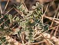 Astragalus sp. 02.jpg