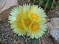 Astrophytum ornatum 003.JPG