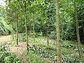 Auró trunk pruning in Acer pseudoplatanus.JPG