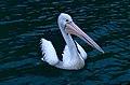 Australian Pelican (Pelecanus conspicillatus) (9822817984).jpg