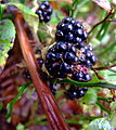 Autumn Blackberry (3984949290).jpg