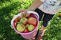 Bøtte Grythengen epler.jpg