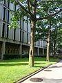 B5 Quercus ilicifolia (Bear Oak).jpg