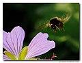 BIF Bumblebee In Flight (4666646299).jpg