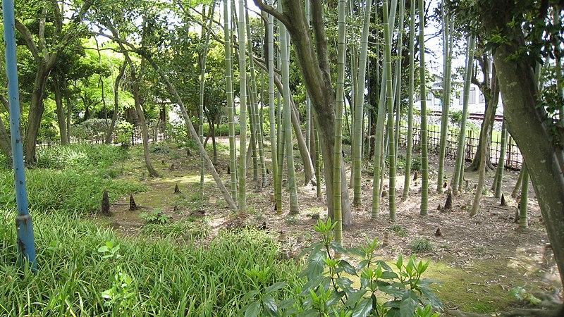 List of Plants 800px-BambooShoot