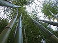 Bambous geant au jardin jungle 2.JPG