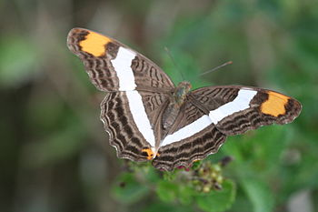 Band-celled Sister %28Adelpha fessonia%29