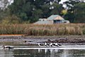 Banded Stilts (24943981943).jpg
