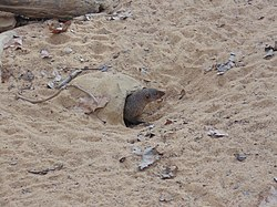 Banded mongoose at entrance to den.JPG