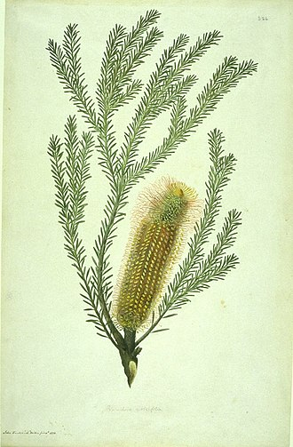 Sydney Parkinson - Image: Banksia ericifolia watercolour from Bank's Florilegium