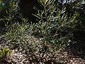 Banksia pilostylis.jpg