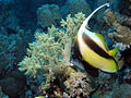 Bannerfish and soft coral at Sataya Reef, Red Sea, Egypt -SCUBA (6395397567).jpg