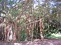 Banyan tree near marshes.jpg