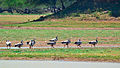 Bar-headed Geese (Anser indicus) at Koonthakulam Bird Sanctuary.jpg