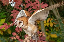 4c979f02 Captive barn owl near Lake Erie, in Ontario; the species has become  extremely rare in this province