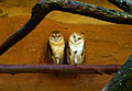 Barn Owl Couple-FullSize.jpg