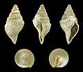Bathytoma cataphracta jugleri 01.JPG