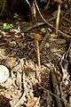Battarrea phalloides (43695581114).jpg