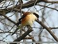 Bay-backed Shrike (Lanius vittatus) (34722479995).jpg