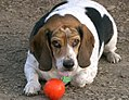 Beagle 745.jpg