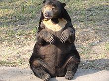 Dancing bear shy girl
