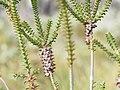 Beaufortia decussata (fruits).JPG