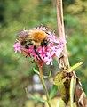 Bee on valerian, Chapel Hill - geograph.org.uk - 2142461.jpg