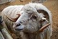 Begging sheep.jpg