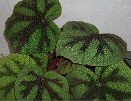 BegoniaMasonianaLeaves