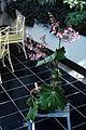 BegoniaRicinifoliaWPC.jpg