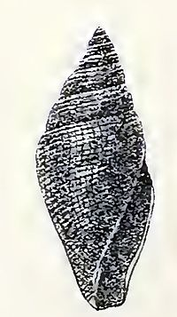 Benthofascis atractoides 001.jpg