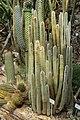 Berlin-Dahlem, botanischer Garten, Cleistocactus hyalacanthus.JPG