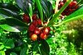 Berries (30447734246).jpg