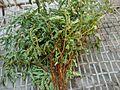 Bhoamali (Phyllanthus niruri).jpg