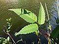 Bidens frondosa sl3.jpg