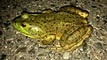 Big bullfrog on the road - 4.jpg