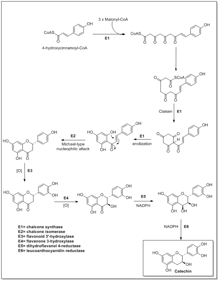 Biosynthesis of catechin