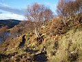 Birch woodland by Loch Kernsary - geograph.org.uk - 640013.jpg