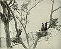 Bird-lore (1909) (14769567673).jpg