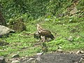 Bird Himalayan Griffon IMG 0438 02.jpg