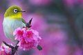 Bird Zosterops japonicus.jpg