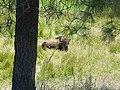 Bison on Catalina Island.jpg