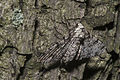 Biston betularia(js)03 Lodz(Poland).jpg