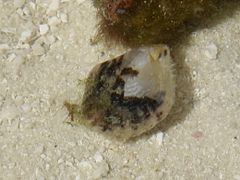 Unidentified bivalve