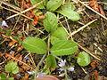 Blütenpflanze0509.JPG