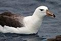 Black-browed Albatross (25703250050).jpg
