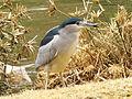 Black-crowned Night Heron Biblical Zoo.jpg