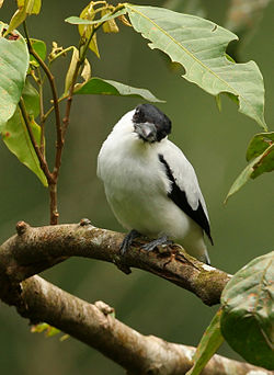 Black-crowned tityra.jpg