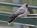 Black-faced Cuckooshrike RWD.jpg
