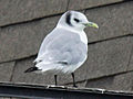 Black-legged Kittiwake RWD3.jpg